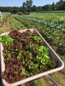 Fresh food is grown and harvested for the residents at Pine Street Inn.